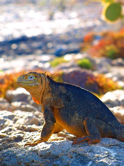 land iguana galapagos islands naturalist