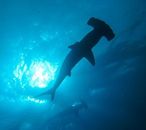 hammerhead shark diving Aqua yacht galapagos