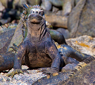 aqua snorkeling galapagos paradise adventure land iguana
