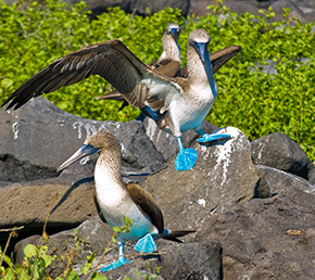 North Seymour Galapagos Islands Blue-Footed Booby