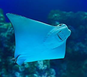 City of the mantas Galapagos Islands Aqua yacht dive manta-ray
