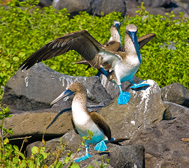 wildlife galapagos islands blue footed booby