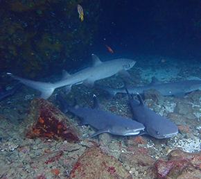 diving Aqua yacht wolf galapagos shark